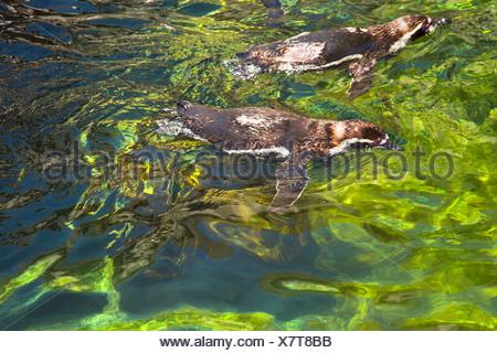 Portrait de manchots de Humboldt (Spheniscus Humboldt) natation dans un étang, le Zoo de Barcelone, Barcelone, Catalogne, Espagne