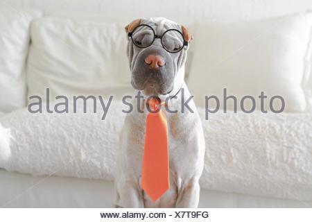 Chien de Shar-pei habillé comme un homme d'affaires Banque D'Images