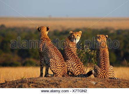 Le Guépard (Acinonyx jubatus), trois guépards dans la lumière du soir, Kenya, Masai Mara National Park Banque D'Images