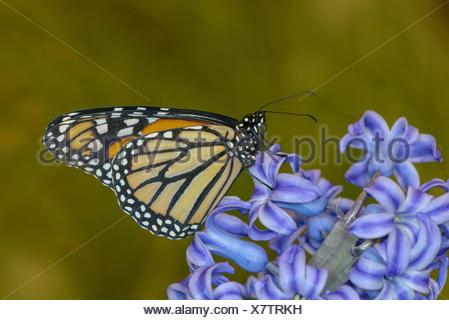 Papillon monarque, Danaus plexippus, sur fleur jacinthe Banque D'Images