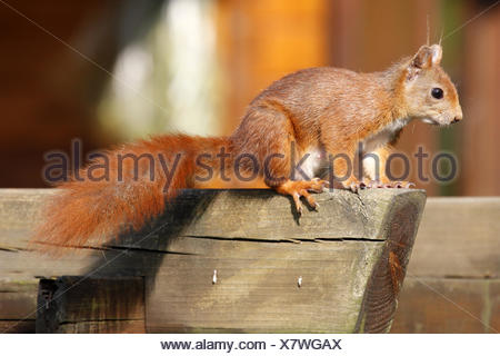 Écureuil rouge alerte / Sciurus vulgaris