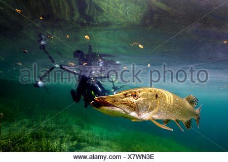 Europa; Taucher mit Hecht im Weiher Echinger, Bayern, Deutschland; Hecht im Flachwasser hechtartiger Raubfisch;;;;; Süsswasserfisch Süsswasser Knochen Banque D'Images
