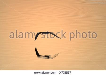 Afrique (Rhynchops flavirostris) - voler au-dessus de la rivière Zambèze au coucher du soleil, Mana Pools National Park, Zimbabwe Banque D'Images
