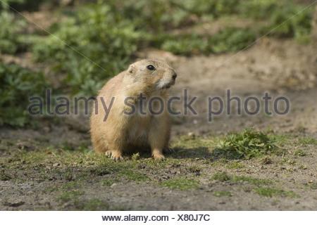 Chien de prairie, Cynomys ludovicianus Banque D'Images