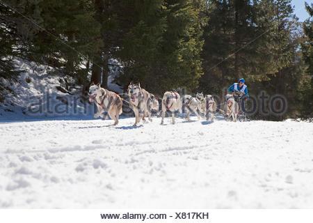 Traîneau à chiens, traîneau à chiens, exécuter, bois, hiver, Banque D'Images