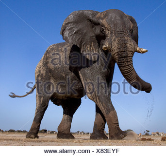L'angle faible, de l'éléphant d'Etosha, Namibie Banque D'Images