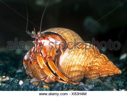 L'Ermite commun, Bernhard Ermite (Pagurus bernhardus, Eupagurus bernhardus) en commun shell Buccin Banque D'Images