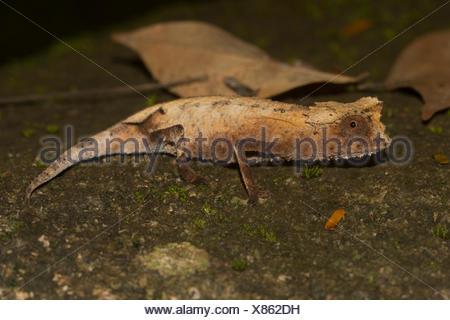 Feuille plaqué (caméléon Brookesia stumpffi), rainforest, Lokobe National Park, l'île de Nosy Be, également Nossi-bé ou être Nosse Banque D'Images
