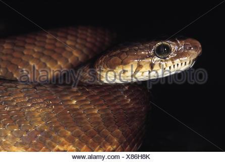 Boiga Forsteni. Le chat de Forsten serpent. Les non venimeux. Le Maharashtra, Inde.
