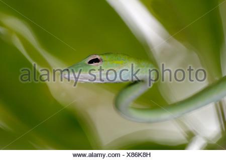 Serpent bec long, long-nez, whipsnake whipsnake Oriental (Ahaetulla prasina), le serpent crowls grâce à un arbre, la Thaïlande, le parc national de Khao Lak