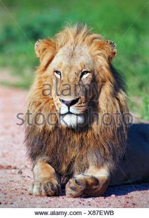 Portrait lion Banque D'Images