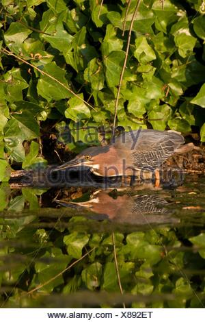 Le héron vert (Butorides virescens), adulte, Ambleside Park, West Vancouver (Colombie-Britannique). Banque D'Images