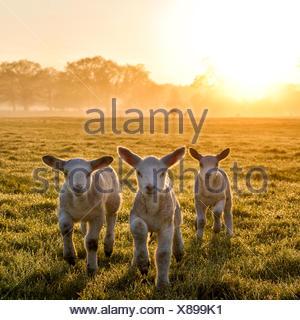 Trois agneaux couchant dans un champ au coucher du soleil, Angleterre, Royaume-Uni Banque D'Images