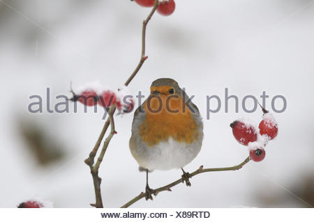 Robin, Erithacus rubecula aux abords, Banque D'Images