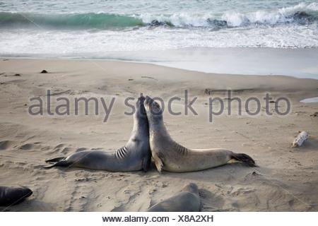 Deux joints sur une plage Banque D'Images