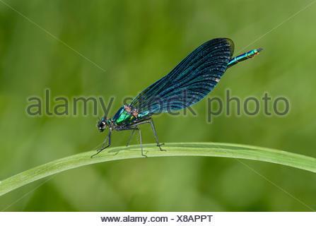 Belle demoiselle (Calopteryx virgo), homme, Canton de Genève, Suisse Banque D'Images
