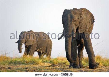 Les éléphants d'Afrique (Loxodonta africana) Taureaux Chobe National Park, Botswana, Africa Banque D'Images
