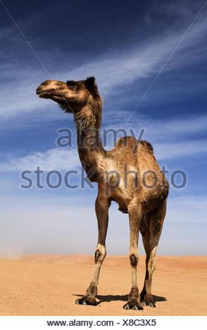 Chameau dans le désert Wahiba Sands, Oman Banque D'Images