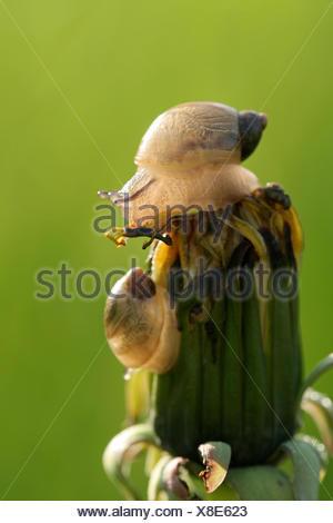 Succinea putris (O. h. kanabensis européenne) sur un bouton floral, kraaijenbergse plassen, noord-brabant, Pays-Bas Banque D'Images