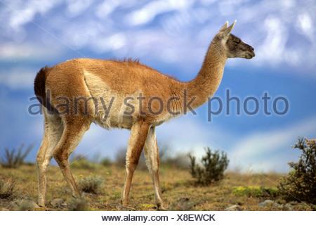 Guanaco (Lama guanicoe), dans la région de pampa, Chili, NP Torres del Paine