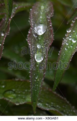 Gouttes d'eau sur une feuille, commune de la pivoine (Paeonia officinalis) Banque D'Images