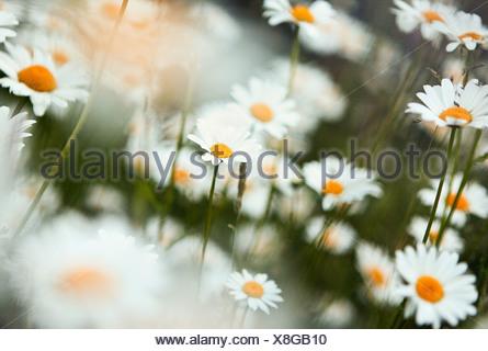 Marguerites, Close up Banque D'Images