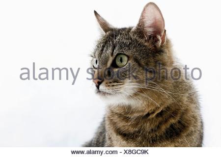 Chat domestique, portrait, close-up