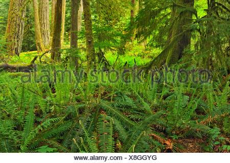 Dans les vieilles forêts pluviales tempérées Cathedral Grove (McMillan Parc Provincial) British Columbia Canada Banque D'Images