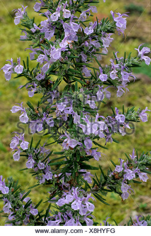 Rosmarinus 'Miss Jessop's Upright' Jessop Rosemary fleur bleue fleurs jardin plantes plantes herbes Herbes rosemarys Banque D'Images