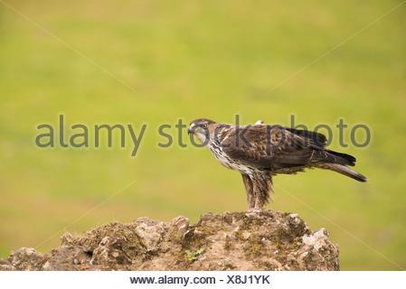 Aigle de Bonelli (Aquila fasciata). Photographié à Adamuz en Sierra Morena l'Andalousie. Banque D'Images