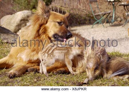 Le sanglier, le porc, le sanglier (Sus scrofa), chien jouant avec des porcelets, Allemagne