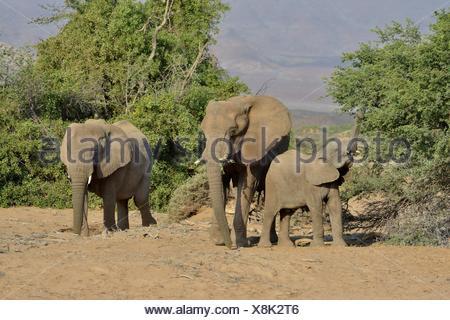 Les éléphants du désert ou de l'éléphant (Loxodonta africana), dans la rivière à sec de l'Huab, Damaraland, Namibie