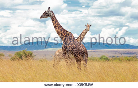 Deux girafes (Giraffa camelopardalis), Masai Mara, Kenya Banque D'Images