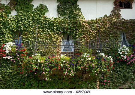 Vignes sauvages et de géranium sur un mur façade en Haute-bavière Allemagne Banque D'Images