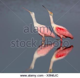 Roseate spoonbill (Ajaia ajaia), les adultes et immatures spoonbill stand en eau peu profonde, image miroir, USA, Floride Banque D'Images