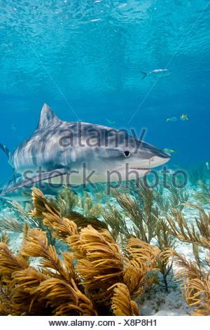 Requin tigre sur le prowl Banque D'Images