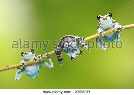 Feuillage crapaud,grenouilles Phrynohyas resinifictrix,,direction montée, Banque D'Images