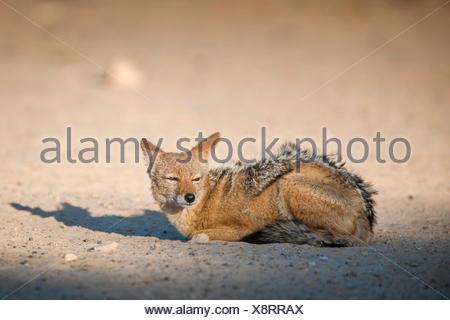 Le chacal à dos noir (Canis mesomelas) reposant sur le sol, Kgalagadi Transfrontier National Park, Northern Cape Province Banque D'Images