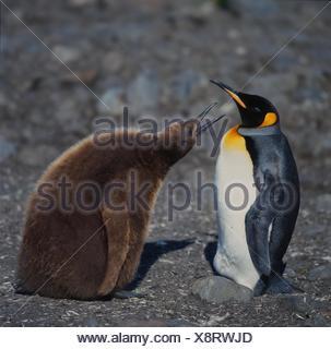 Manchot royal (Aptenodytes patagonicus), à la mendicité avec des enfants, adultes de l'Antarctique, Suedgeorgien