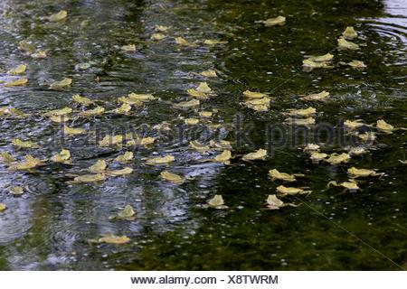 Grenouille comestible ou grenouille verte, Rana esculenta, Groupe en étang, Normandie Banque D'Images