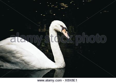 Flottant sur le Lac des cygnes Banque D'Images