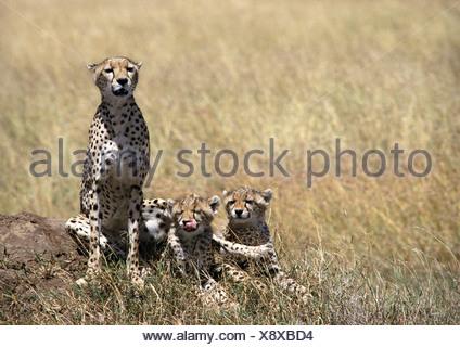 Les guépards d'Afrique de l'Est (Acinonyx jubatus raineyii), la mère et les deux petits, assis dans la savane de prairie Banque D'Images
