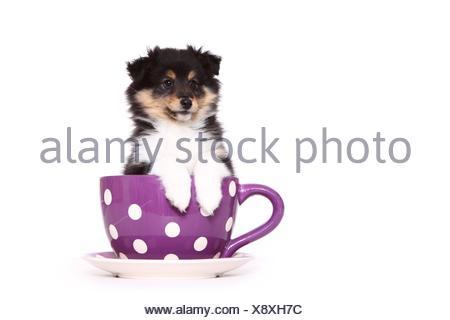 Petit chien Sheltie