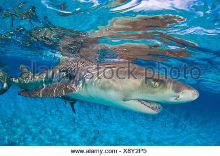 Le requin citron (Negaprion brevirostris) dans les eaux peu profondes d'une réflexion à la surface. Petit banc des Bahamas, Bahamas. Banque D'Images