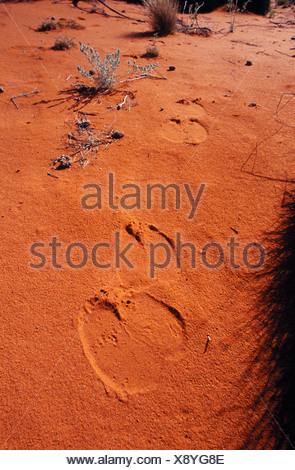 Empreintes de pieds de chameau stérile traverse des dunes de sable rouge dans un désert. Banque D'Images