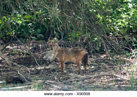 Chacal européen, Canis aureus moreoticus, Delta du Danube, Roumanie, caucasien jackal ou reed le loup, sous-espèce de chacal doré originaire d'Europe du Sud-Est