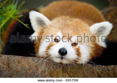 Le panda rouge, mignon, close-up head shot, couchée sur un rocher, regardant droit dans la caméra. Banque D'Images