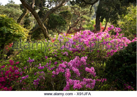 Les buissons d'azalées rafale en couleur dans ce jardin de Séoul. Banque D'Images