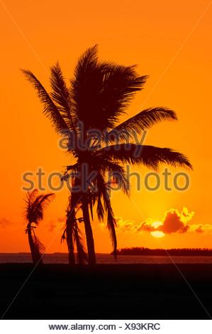 Le cocotier (Cocos nucifera) au lever du soleil, le Parc National des Everglades, Florida, USA