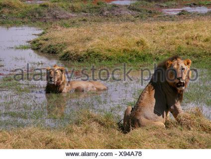 Lion (Panthera leo), les lions se rafraîchir dans l'eau, Parc National d'Amboseli, Kenya
